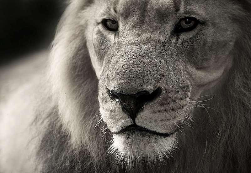 De Grote Witte Leeuw | Leeuwenpoort